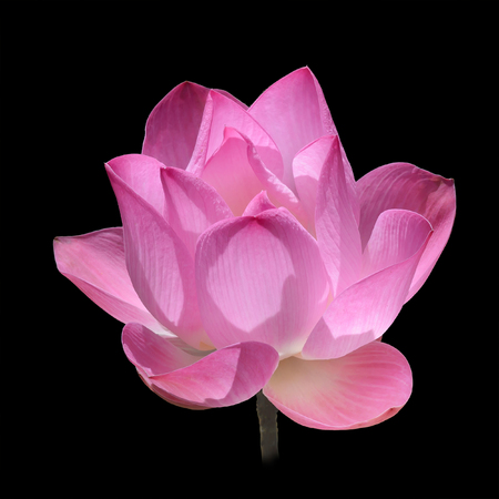 Isolated Pink Lotus on Black Background Stok Fotoğraf