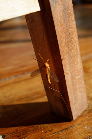 daddy long legs: Close Up Crane Fly on Chair Leg