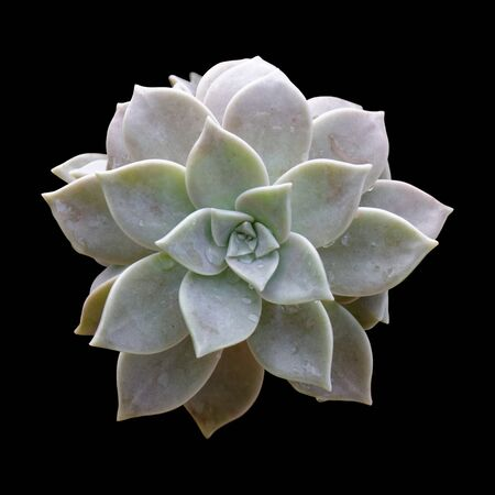 Graptopetalum Paraguayense Ghost Plant Isolated on Black Background