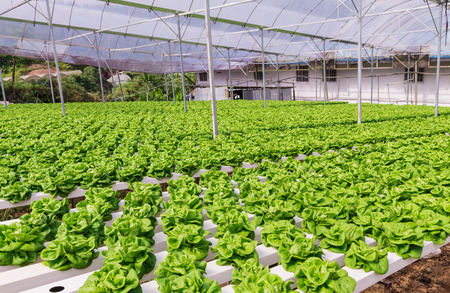 Hydroponic Vegetable Planting In Greenhouse At Cameron Highlands Photo