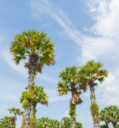 palmyra palm: Sugar Palm Tree or Asian Palmyra palm or Toddy palm or Cambodian palm on blue sky