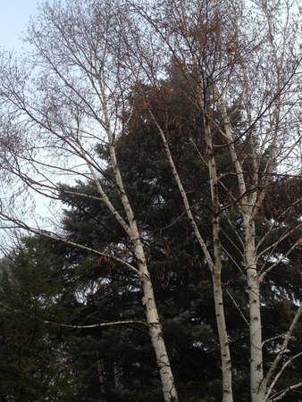 Birch Tree Stock Photo - 16482655