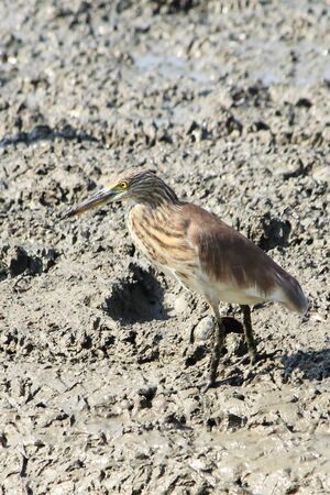 bittern: bittern bird Stock Photo