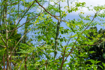Fresh moringa pods on tree.