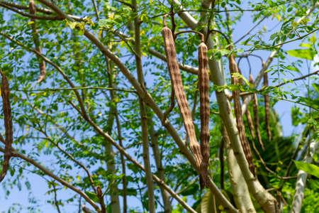 Dry moringa pods on tree.