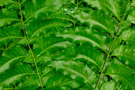 Medicinal neem leaf background, top view. Green leaf in South East Asia. Azadirachta indica var. siamensis valeton.