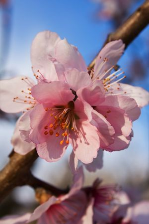 close up pink cherry flowers on a tree Stock Photo - 4614478