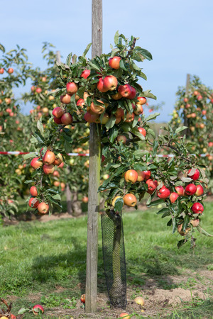young tree: Young apple tree full of ripe apples in organic farm