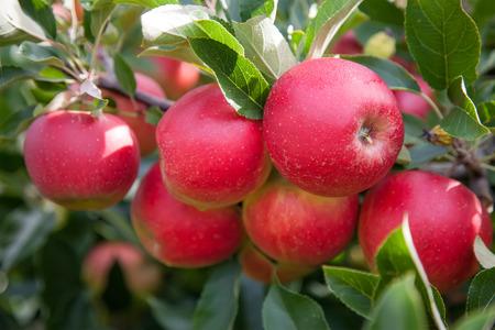 arbol de manzanas: Manzanas orgánicas rojas brillantes en una rama de árbol