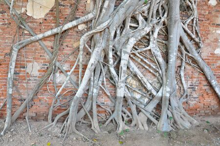 hoary: roots on old wall