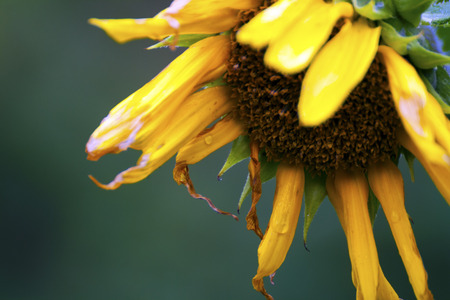 wilted: Wilted sunflower Stock Photo