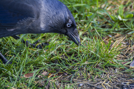Jackdaw looking for food photo