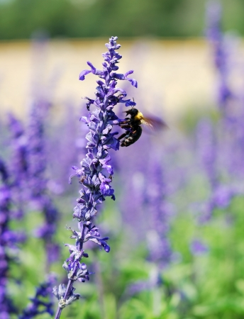 Bee collecting honey on lavendar flower photo