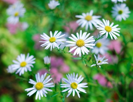 Daisies in spring garden photo