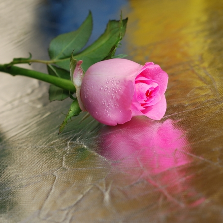 Pink rose on silver background photo