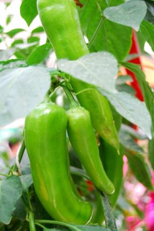 bush pepper: Green pepper on the bush in nature