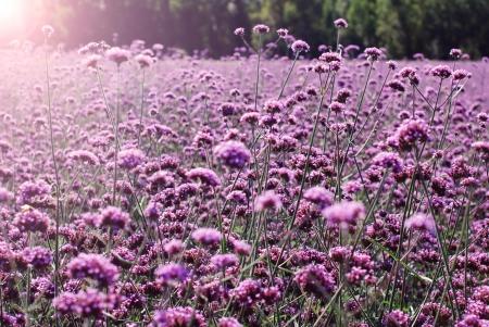 A field of lilac colored flowers,verbena bonariensis photo
