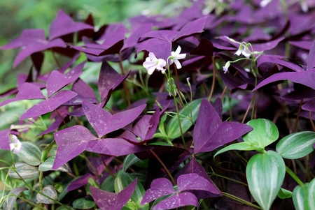 oxalidaceae: Flower Oxalis triangularis  Purple shamrock, Indian park