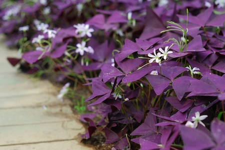 Flower Oxalis triangularis  Purple shamrock, Indian park   photo
