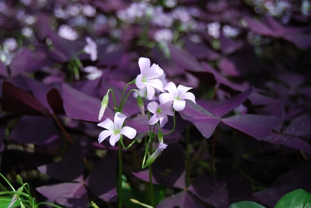 oxalis: Flower Oxalis triangularis,  Purple shamrock