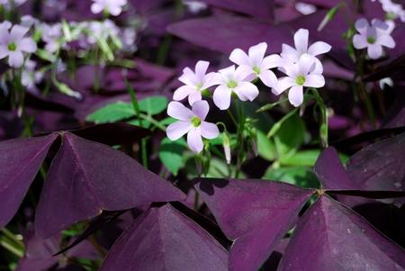 oxalidaceae: Flower Oxalis triangularis , Purple shamrock
