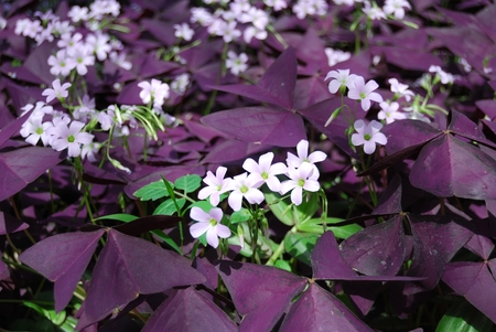 Flower Oxalis triangularis , Purple shamrock