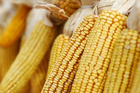 Mature corn cob photo