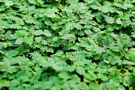 Mimosa pudica (Sensitive Plant) background photo