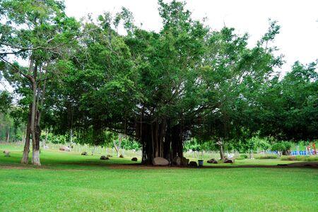 refreshed: Banyan tree