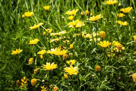 daisys: Yellow Daisy