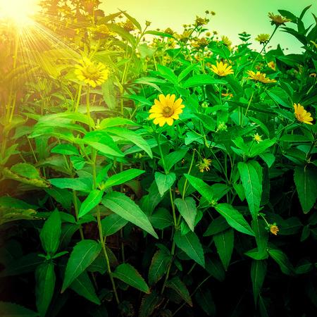 美丽的黄花在阳光明媚的夏日