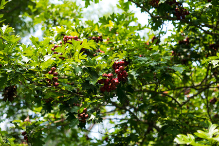 Ripe hawthorn in autumn.