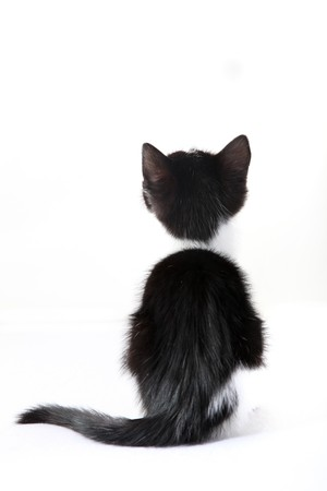 kitten from behind against a white background - cutout Stock Photo