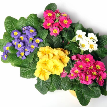 Colorful primroses from the top - square - on a white background photo