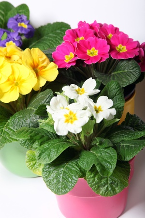 Colorful primroses in colorful pots - close up photo