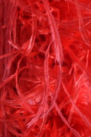 robo: Detalle de las bellas avestruz o malibou suaves plumas usadas para tejer un elegante boa de plumas rojas, bufanda o robado