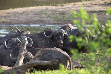 wallowing: Herd of Cape buffalo, Syncerus caffer, standing close together in a depression alongside water watching the camera in African savannah