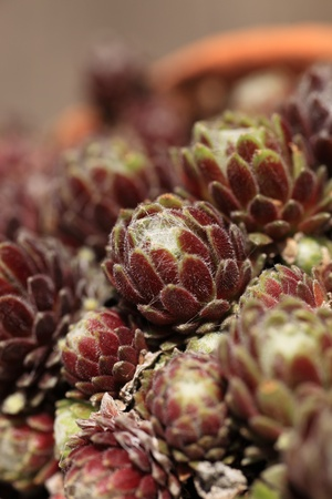 ornamental horticulture: Bunch of proteas with focus to one central protea flower and shallow dof
