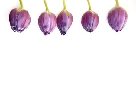 individually: Border of beautiful fresh purple tulips lined up individually along the top of the frame isolated on white with copyspace