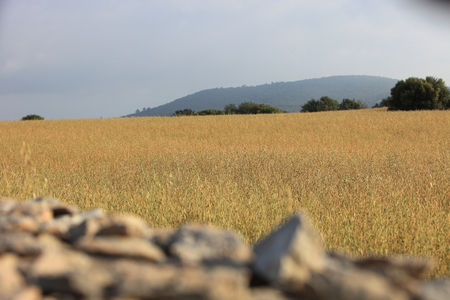 drystone: View over a drystone wall of an agricultural field with golden wheat ripening in the summer sun almost ready for harvesting Stock Photo