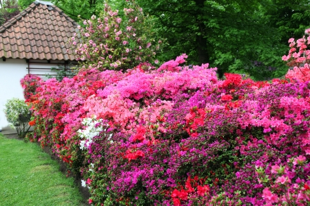 Magnificent display in pinks and reds of azaleas in a garden forming a dense hedge of flowers leading towards a house Stock Photo