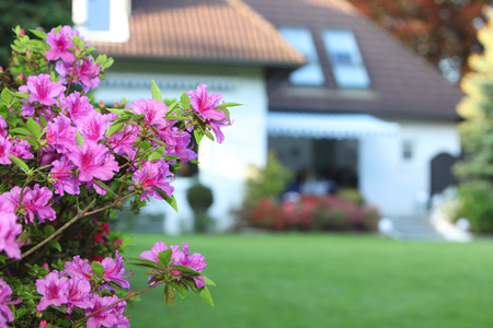 Closeup detail of a branch of colourful magenta azaleas in a private garden with a green lawn leading to a house with shallow dof Stock Photo