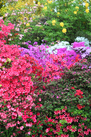 ornamental shrub: Vibrant display of purple, white and red flowering azaleas in a spring garden