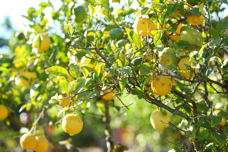 citrus tree: Fresh ripe yellow lemons growing on a citrus tree in a garden orchard or farm, closeup view