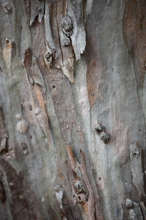 bark peeling from tree: Background of peeling tree bark in shades of grey and brown forming a protective covering on a tree trunk