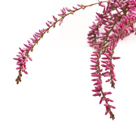 arching: Graceful arching sprays of beautiful small pink flowers isolated on a white background with copyspace