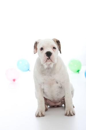 stocky: Stocky white birthday dog sitting facing the camera with an attentive expression with a blue and green party balloon visible on either side on a white background