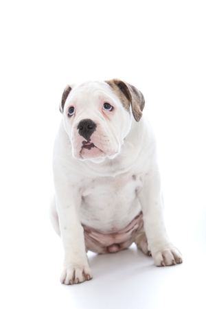 soulful eyes: Adorable white dog with an abject expression and soulful eyes sitting looking up at its owner saying sorry after being admonished on a white background Stock Photo