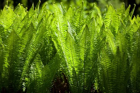 growing together: Close-up Plenty Green Sword Fern Growing Together Stock Photo