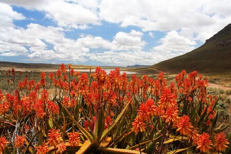 flowering aloe: Bright Red Flowering Aloe Plants in Foreground of Scenic South African Mountain Valley with Lake and Cloudy Blue Sky